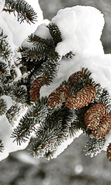 Download free mobile wallpaper 37633: Fir-trees,Plants,Cones for phone or tab. Download images, backgrounds and wallpapers for mobile phone for free.