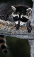 Download free mobile wallpaper 10071: Animals, Raccoons for phone or tab. Download images, backgrounds and wallpapers for mobile phone for free.