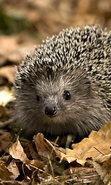 Download free mobile wallpaper 47821: Hedgehogs,Animals for phone or tab. Download images, backgrounds and wallpapers for mobile phone for free.