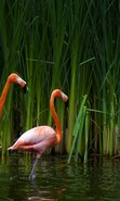 Download free mobile wallpaper 38790: Flamingo,Birds,Animals for phone or tab. Download images, backgrounds and wallpapers for mobile phone for free.