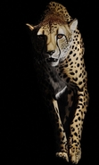 Download free mobile wallpaper 31482: Cheetah,Animals for phone or tab. Download images, backgrounds and wallpapers for mobile phone for free.