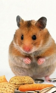 Download free mobile wallpaper 33187: Hamsters,Animals for phone or tab. Download images, backgrounds and wallpapers for mobile phone for free.