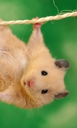 Download free mobile wallpaper 40524: Hamsters,Animals for phone or tab. Download images, backgrounds and wallpapers for mobile phone for free.