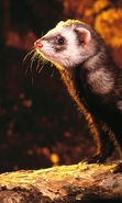 Download free mobile wallpaper 35318: Ferrets,Animals for phone or tab. Download images, backgrounds and wallpapers for mobile phone for free.