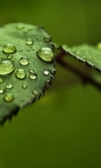 Download free mobile wallpaper 43386: Drops,Leaves,Objects for phone or tab. Download images, backgrounds and wallpapers for mobile phone for free.