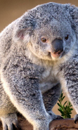 Download free mobile wallpaper 48484: Koalas,Animals for phone or tab. Download images, backgrounds and wallpapers for mobile phone for free.