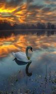 Download free mobile wallpaper 19733: Swans, Lakes, Landscape, Birds, Sunset, Animals for phone or tab. Download images, backgrounds and wallpapers for mobile phone for free.