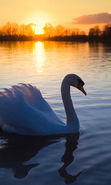 Download free mobile wallpaper 22650: Swans, Lakes, Landscape, Sunset, Animals for phone or tab. Download images, backgrounds and wallpapers for mobile phone for free.