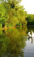 Download free mobile wallpaper 24922: Swans, Birds, Rivers, Animals for phone or tab. Download images, backgrounds and wallpapers for mobile phone for free.
