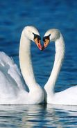 Download free mobile wallpaper 19656: Swans, Birds, Animals for phone or tab. Download images, backgrounds and wallpapers for mobile phone for free.
