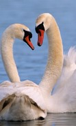 Download free mobile wallpaper 46828: Swans,Birds,Animals for phone or tab. Download images, backgrounds and wallpapers for mobile phone for free.