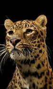Download free mobile wallpaper 21500: Leopards, Animals for phone or tab. Download images, backgrounds and wallpapers for mobile phone for free.