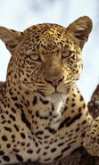 Download free mobile wallpaper 28296: Leopards, Animals for phone or tab. Download images, backgrounds and wallpapers for mobile phone for free.