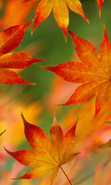 Download free mobile wallpaper 44660: Leaves,Objects,Autumn for phone or tab. Download images, backgrounds and wallpapers for mobile phone for free.