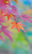 Download free mobile wallpaper 29160: Leaves,Autumn,Plants for phone or tab. Download images, backgrounds and wallpapers for mobile phone for free.