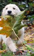 Download free mobile wallpaper 15460: Leaves, Autumn, Dogs, Animals for phone or tab. Download images, backgrounds and wallpapers for mobile phone for free.