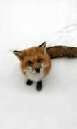 Download free mobile wallpaper 43499: Fox,Snow,Animals,Winter for phone or tab. Download images, backgrounds and wallpapers for mobile phone for free.