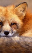 Fox Mobile Wallpapers Download Free Fox Wallpapers For