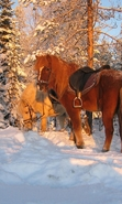 Download free mobile wallpaper 45763: Horses,Snow,Animals,Winter for phone or tab. Download images, backgrounds and wallpapers for mobile phone for free.