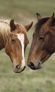 Download free mobile wallpaper 47429: Horses,Animals for phone or tab. Download images, backgrounds and wallpapers for mobile phone for free.