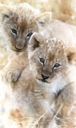 Download free mobile wallpaper 13059: Lions, Animals for phone or tab. Download images, backgrounds and wallpapers for mobile phone for free.