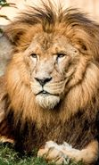 Download free mobile wallpaper 27371: Lions, Animals for phone or tab. Download images, backgrounds and wallpapers for mobile phone for free.