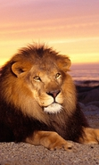 Download free mobile wallpaper 36219: Lions,Animals for phone or tab. Download images, backgrounds and wallpapers for mobile phone for free.