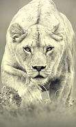 Download free mobile wallpaper 39199: Lions,Animals for phone or tab. Download images, backgrounds and wallpapers for mobile phone for free.