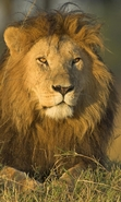 Download free mobile wallpaper 46376: Lions,Animals for phone or tab. Download images, backgrounds and wallpapers for mobile phone for free.