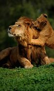 Download free mobile wallpaper 9580: Animals, Lions for phone or tab. Download images, backgrounds and wallpapers for mobile phone for free.