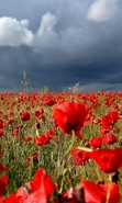 Download free mobile wallpaper 48125: Poppies,Landscape,Fields,Plants for phone or tab. Download images, backgrounds and wallpapers for mobile phone for free.