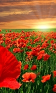 Download free mobile wallpaper 47829: Poppies,Landscape,Nature,Plants,Sunset for phone or tab. Download images, backgrounds and wallpapers for mobile phone for free.