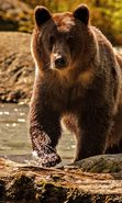 Download free mobile wallpaper 36857: Bears,Animals for phone or tab. Download images, backgrounds and wallpapers for mobile phone for free.
