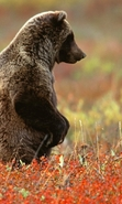 Download free mobile wallpaper 40449: Bears,Animals for phone or tab. Download images, backgrounds and wallpapers for mobile phone for free.