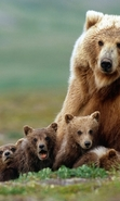 Download free mobile wallpaper 42054: Bears,Animals for phone or tab. Download images, backgrounds and wallpapers for mobile phone for free.