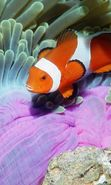 Download free mobile wallpaper 24708: Sea, Clown fish, Animals for phone or tab. Download images, backgrounds and wallpapers for mobile phone for free.