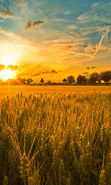Download free mobile wallpaper 11550: Landscape, Sunset, Fields, Sky, Sun, Wheat for phone or tab. Download images, backgrounds and wallpapers for mobile phone for free.
