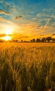 Download free mobile wallpaper 9693: Landscape, Sunset, Fields, Sky, Sun, Wheat for phone or tab. Download images, backgrounds and wallpapers for mobile phone for free.
