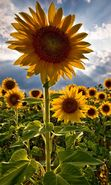 Download free mobile wallpaper 29: Plants, Sunflowers, Sky for phone or tab. Download images, backgrounds and wallpapers for mobile phone for free.