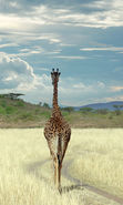 Download free mobile wallpaper 6820: Animals, Sky, Giraffes for phone or tab. Download images, backgrounds and wallpapers for mobile phone for free.