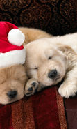 Download free mobile wallpaper 10619: Holidays, Animals, Dogs, New Year, Christmas, Xmas for phone or tab. Download images, backgrounds and wallpapers for mobile phone for free.