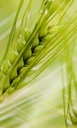 Download free mobile wallpaper 42413: Objects,Wheat for phone or tab. Download images, backgrounds and wallpapers for mobile phone for free.