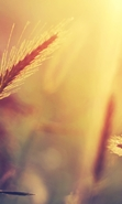 Download free mobile wallpaper 43647: Objects,Wheat,Plants for phone or tab. Download images, backgrounds and wallpapers for mobile phone for free.
