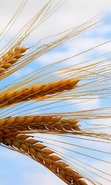 Download free mobile wallpaper 43883: Objects,Wheat,Plants for phone or tab. Download images, backgrounds and wallpapers for mobile phone for free.