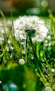 Download free mobile wallpaper 46950: Dandelions,Plants for phone or tab. Download images, backgrounds and wallpapers for mobile phone for free.