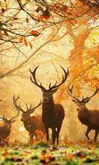 Download free mobile wallpaper 20525: Deers, Autumn, Animals for phone or tab. Download images, backgrounds and wallpapers for mobile phone for free.