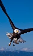Download free mobile wallpaper 36028: Eagles,Birds,Animals for phone or tab. Download images, backgrounds and wallpapers for mobile phone for free.