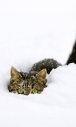 Download free mobile wallpaper 43642: Cats,Snow,Animals,Winter for phone or tab. Download images, backgrounds and wallpapers for mobile phone for free.