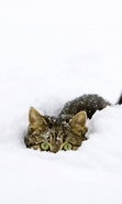 Download free mobile wallpaper 47431: Cats,Snow,Animals,Winter for phone or tab. Download images, backgrounds and wallpapers for mobile phone for free.
