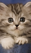 Download free mobile wallpaper 43370: Cats,Animals for phone or tab. Download images, backgrounds and wallpapers for mobile phone for free.
